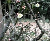 我が家の梅!開花( 。・_・。)ノ